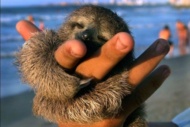 baby-sloth-is-content