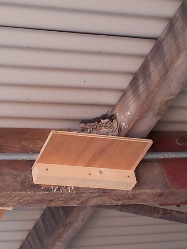 Baby swallows, waiting for mama to bring some food!